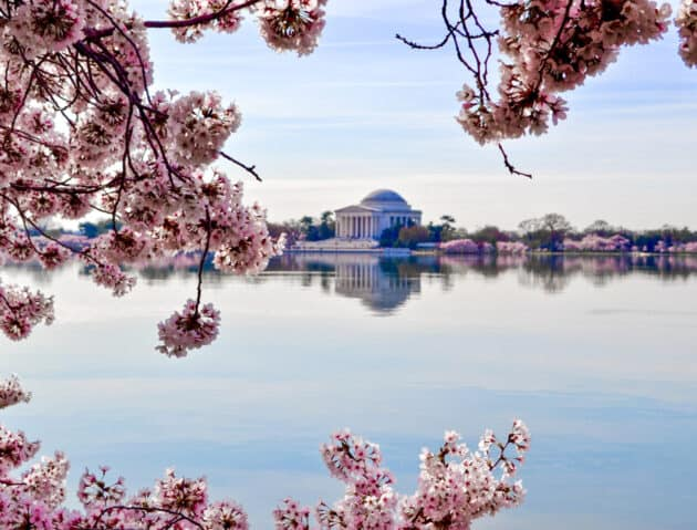 Cherry blossoms by the potomac river.